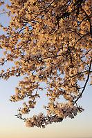 Almond tree in flower, Amygdalus or Prunus dulcis, Parque Natural Hoces del Rio Riaza, Monejo de la Vega, Segovia, Spain