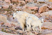 "Mountain Goat (Oreamnos americanus) nanny and kids among granite boulders in the Beartooth Mountains near the Wyoming/Montana border.  The nanny is shedding her heavy winter coat of fur to a new ""summer weight"" fur coat which will grow long again for the next winter.  Twins are fairly uncommon among mt. goats and one of these kids probably belongs to another nanny that is outside this photo."