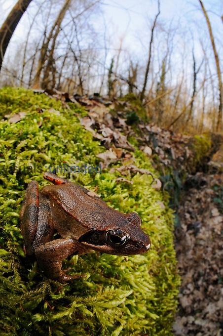 Italian Agile Frog (Rana latastei) in habitat, Italy.