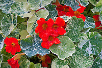 Tropaeolum majus (Nasturtium) 'Alaska Scarlet' with variegated foliage, red flowers