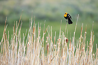 Male Yellow-headed Blackbird (Xanthocephalus xanthocephalus). Sublette County, Wyoming. June.