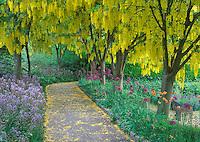 Goldenchain Tree (Laburnum watereri) and flowering onion. VanDusen Botanical Garden, Vancouver, BC