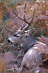 mule deer buck and bracken ferns