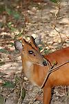 Common Red Muntjac Deer