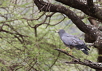 We saw this African harrier-hawk during our final game drive, in Lake Manyara National Park.