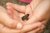 Juvenile Natterjack toad (Bufo calamita), strandpadda; stinkpadda<br /> Location: Flommen, Skan&ouml;r, Sk&aring;ne, Sweden