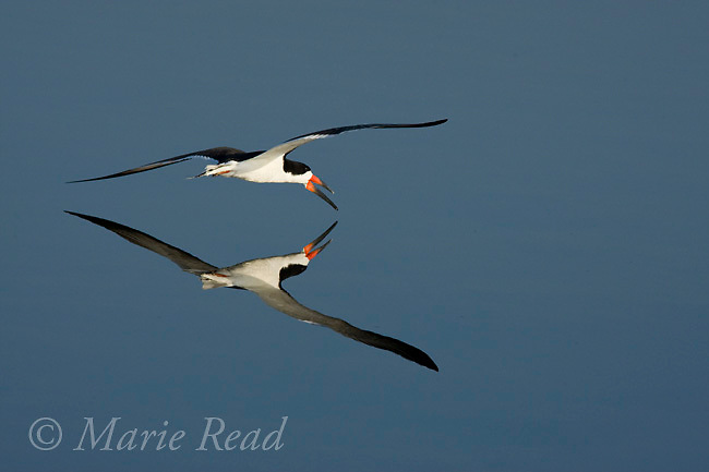 Black Skimmer (Rynchops niger) flying low over water with reflection, Bolsa Chica Ecological Reserve, California, USA