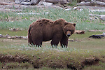 Adult Grizzly bear eating sedge grass in Katmai National Park, Alaska