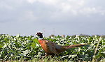 Male pheasant in sugar beet field viewed from the side
