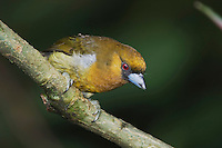 Prong-billed Barbet, Semnornis frantzii, adult perched, Central Valley, Costa Rica, Central America, December 2006