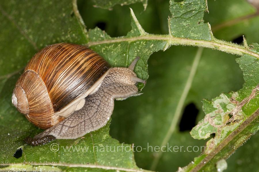 Weinbergschnecke, Weinberg-Schnecke frisst an einem Blatt, Helix pomatia, Roman snail, escargot, escargot snail, edible snail, apple snail, grapevine snail, vineyard snail, vine snail