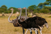 Botswana-Wildlife-Ostriches