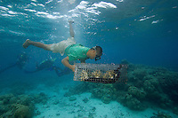 Diver (MR) dropping coral being propagated on a reef in Palau, Micronesia.