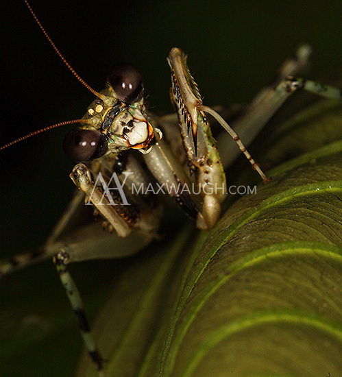 A leaf mantis photographed during a night walk in Borneo.