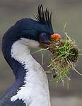 Falkland Islands / Islas Malvinas (British Overseas Territory), imperial shag (Leucocarbo atriceps)