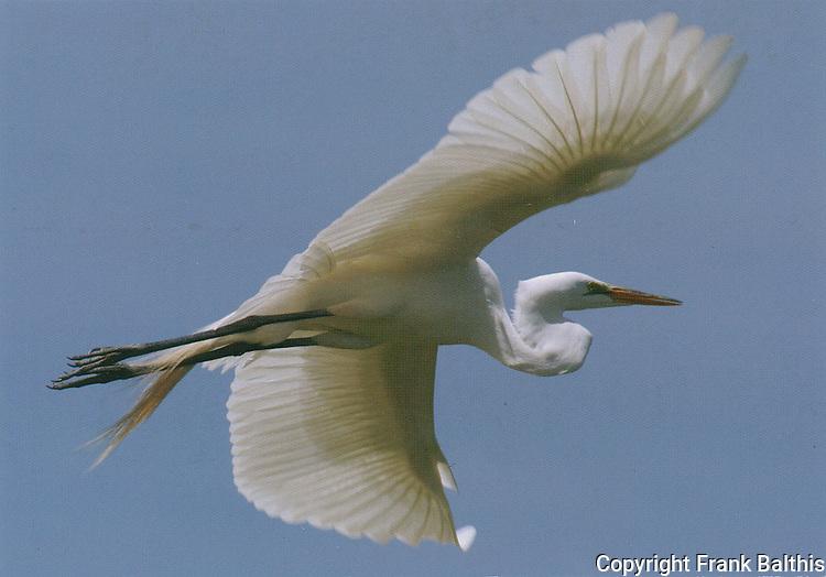 Great egret in flight,  FB-S93