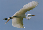 Great egret in flight,  FB-S93