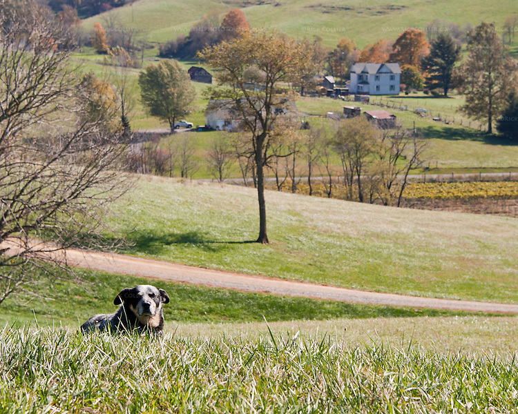 The winery dog keeps an eye out, on the hill at Davis Valley Winery.