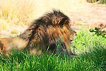 IMAGES OF SAN DIEGO, CALIFORNIA, USA, WILD ANIMAL PARK African Lion  (Panthera leo krugeri)