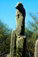 SAGUARO CACTUS<br /> Carnegiea Gigantea<br /> The Saguaro is the state flower of Arizona and is composed of tall, thick, fluted columnar stem, 18 to 24 inches in diameter with several large branches (arms) curving upward.  The Saguaro grows an 1&quot; a year and lives about 200 years.