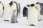 Pictured: A jealous penguin chick demands attention from its parents by wedging itself between them.   The chick extended its neck to try to get noticed in the hope of a feed but the parents seemed unperturbed by their youngster's pleas.<br /> <br /> As a result, the hungry chick changed tack and became animated, raising its wings and opening its mouth.   Amateur photographer Roger Clark pictured the Emperor penguins in Gould Bay, Antarctica, as the temperatures plunged to -16 degrees Celsius.   SEE OUR COPY FOR DETAILS<br /> <br /> Please byline: Roger Clark/Solent News<br /> <br /> ©  Roger Clark/Solent News & Photo Agency<br /> UK +44 (0) 2380 458800