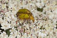 Schwefelkäfer, Schwefel-Käfer, Paarung, Kopula, Kopulation, Blütenbesuch, Cteniopus flavus, sulphur beetle, copulation, Pflanzenkäfer, Alleculinae