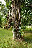 BELIZE, Punta Gorda, Toledo, a large palm on the grounds at the Sun Creek Lodge