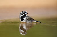 578670048 a wild black-throated sparrow amphispiza bilineata bathes in a small pond on santa clara ranch starr county texas united states