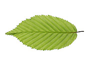 Hainbuche, Hain-Buche, Weißbuche, Weissbuche, Carpinus betulus, Common Hornbeam, Charme commun, Charmille. Blatt, Blätter, leaf, leaves