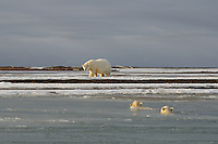 A sow watches over her playing cubs. Every fall, polar bears gather near the community of Kaktovik, Alaska, on the northern edge of ANWR, waiting for the Arctic Ocean to freeze. The bears have become a symbol of global warming.