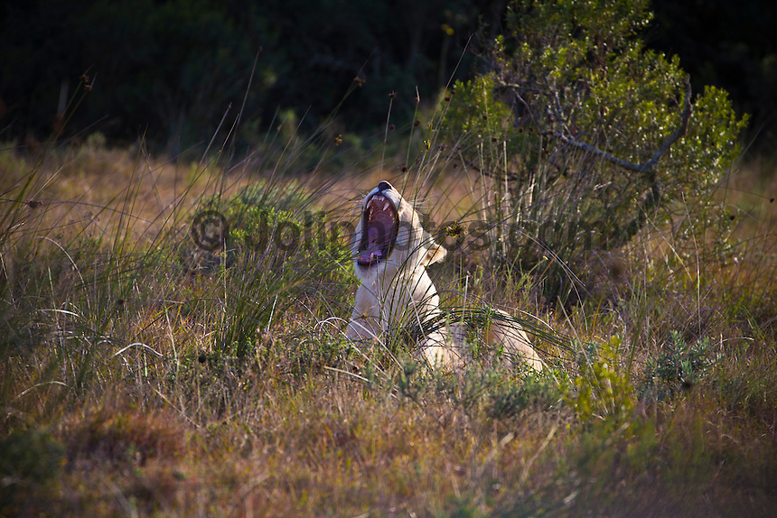 Pumba Game Reserve, Eastern Cape, South Africa. Saturday July 30 2011. A white lioness, the mother of two white lion cubs born at Pumba. Pumba Private Game Reserve is the third largest privately owned game reserve in the Eastern cape covering five of the seven African biomes. It is home to the  Africa's Big Five  and the rare White Lion. Photo: joliphotos.com