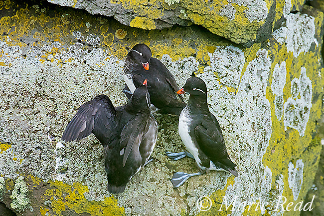 Parakeet Auklets (Aethia psittacula) three interacting on lichen-covered rock on cliff face, St. Paul Island, Pribilofs, Alaska, USA