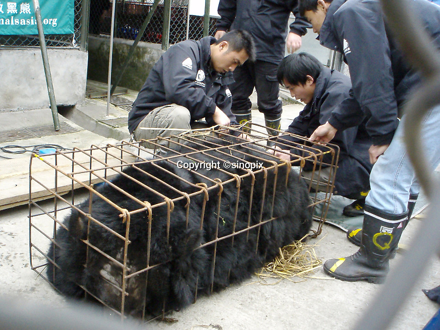 "A bear rescue in Chengdu, Sichuan, China conducted by Animals Asia Foundation. The foundation rescued 28 ""moon"" bears from horrendous bea-bile farms in the area. Animals Asia is run and founded by UK national Jill Robinson, M.B.E."