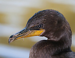 Double-crested Cormorant Close up portrait in the wild