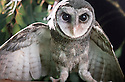 Southern Sooty Owl (Tyto tenebricosa) female with wings spread, from Coolangatta, Qld