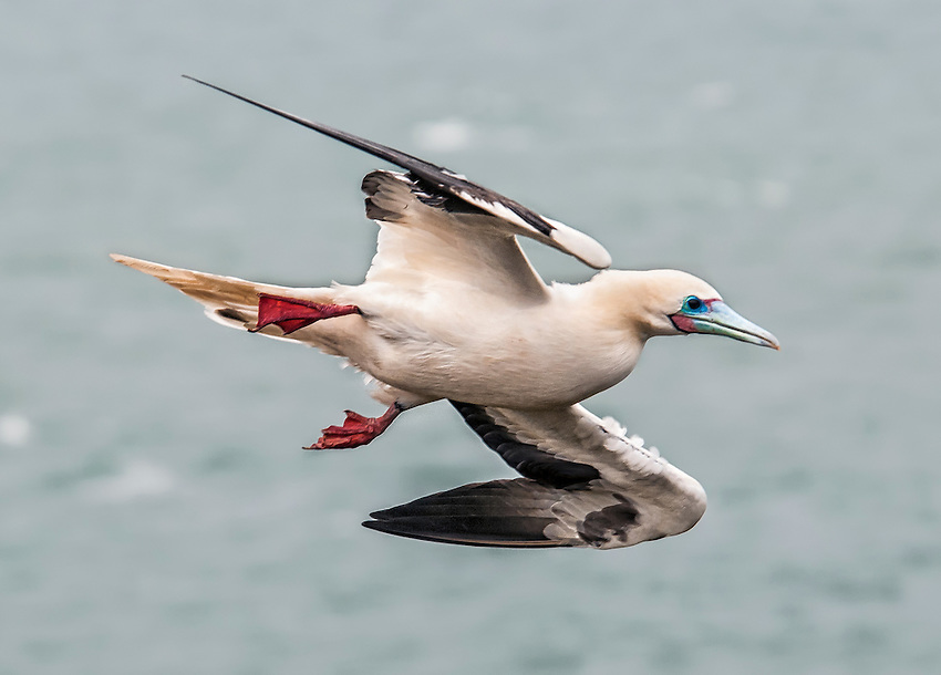 A red-footed booby in a fly-by at the Kilauea Point National Wildlife Refuge, Kawai, Hawaii