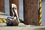 Brown pelicans resting on a pier in Galveston.