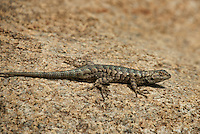 425900011 a wild great basin fence lizard sceloporus occidentalis longipes perches on a large granite rock
