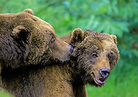 Grizzly Bear male on left nuzzles female on right during courtship display..Northwest Trek, Washington. USA..(Ursus arctos).