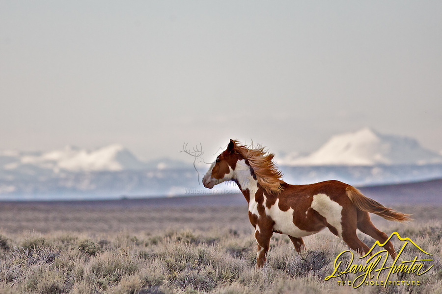 Running Wyoming Mustang