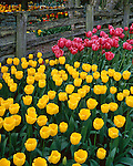 "Skagit County, WA               <br /> A border of yellow and pink tulips under a weathered split rail fence in the Roozengaarde garden / ""Courtesy of the Washington Bulb Co. Inc."""