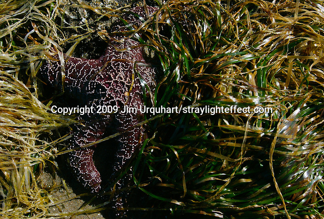 A star fish in sea weed on rocky coast and tidal pools of Oregon along Pacific Coast Highway 101. Jim Urquhart/straylighteffect.com 7/24/09