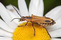 Margined Leatherwing (Chauliognathus marginatus) on an Oxeye Daisy flower, Bald Eagle State Park, Howard, Centre County, Pennsylvania