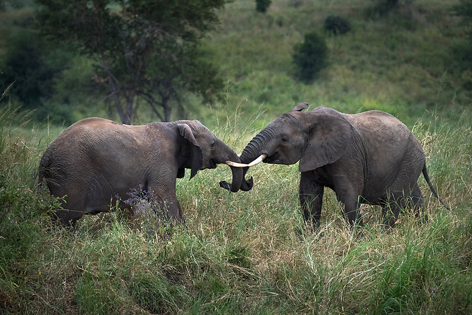 Two young elephants frolic near a local watering hold, Tarangire National Park.