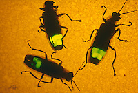 FIREFLIES (LIGHTNING BUGS).Bioluminescence. Abdomen view.  Photinus Pyralis..A firefly flashes when O2, breathed in through the abdominal tracheae, combines with the substance luciferin under the catalytic effect of the enzyme luciferase. The light is 90-98% efficient.