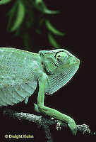 CH23-065z  African Chameleon - puffed up male,  warning off intruder, curled tail - Chameleo senegalensis