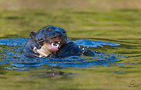 Giant Otter (Pteronura brasiliensis), sporting huge teeth and enormous webbed paws, devours a fish.  The Pantanal, Brazil.