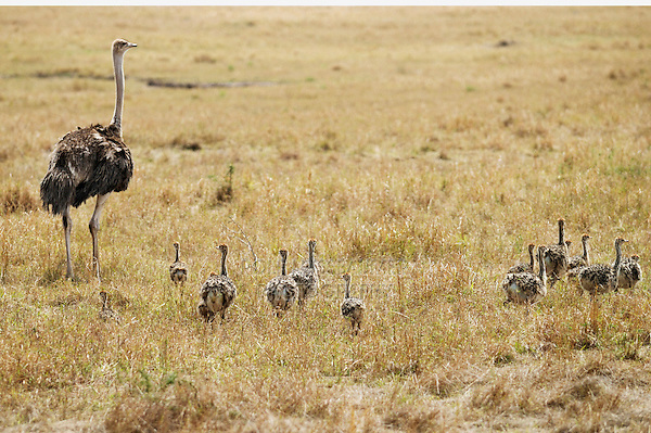 Ostrich (Struthio camelus), mother with young, Masai Mara, Kenya, Africa