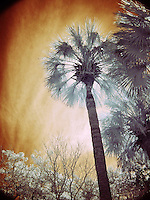 Lowcountry palm in infrared