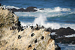 Common murres on the rocks at Yaquina Head Outstanding Natural Area.
